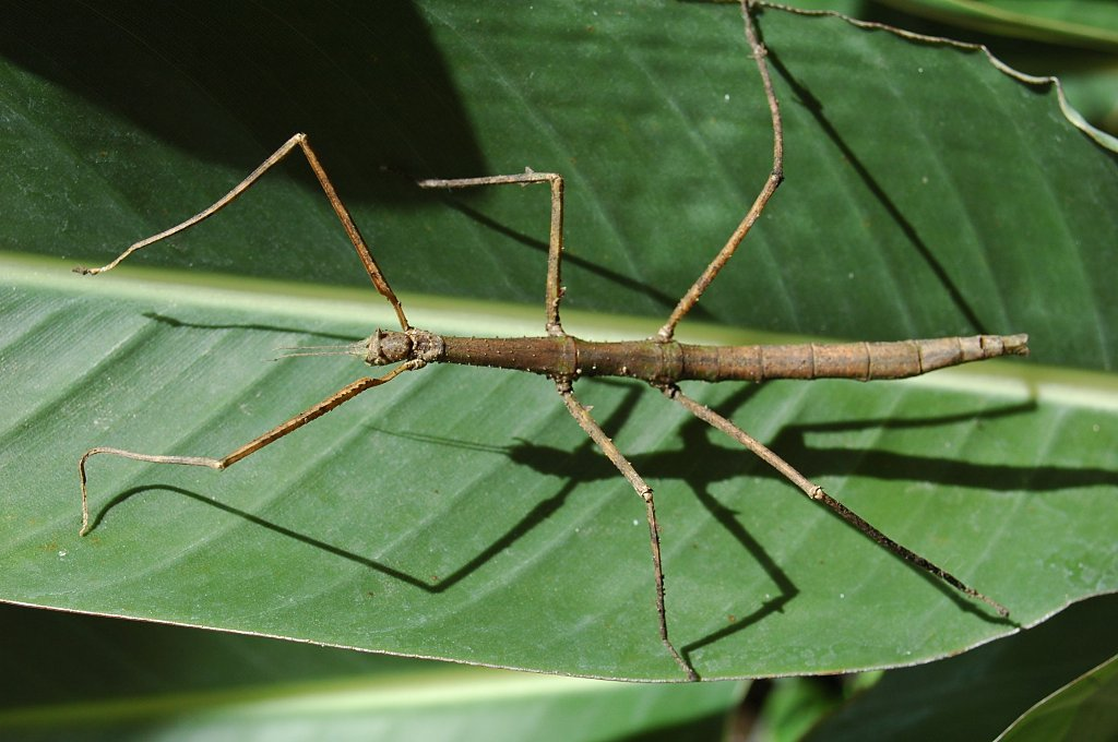 hexapodo con nxt: insecto palo