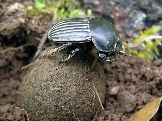 escarabajo_pelotero