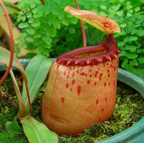 Nepenthes Sibuyanensis
