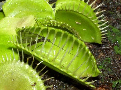 Dionaea Muscipula o Venus atrapamoscas